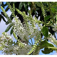 Sweet Almond Plant - Aloysia virgata - Intoxicating Vanilla Almond Scent -4