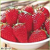 苺イチゴ 章姫あきひめの苗3苗セット