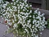 Lobularia maritima, Sweet Alyssum, Rosie O Day, 5g approx 12500 seeds