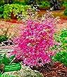 BALDUR-Garten Japanischer Zwerg- Ahorn 'Ph�nix', 1 Pflanze Acer palmatum