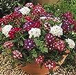 Verbena Quartz 'Mixed' Plug Plants x 10