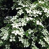 常緑ヤマボウシ:ホンコンエンシス月光6号ポット[花付きの良い選抜品種]