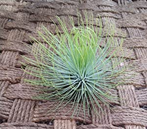 Airplant Andreana XL (Grown and Shipped From California)