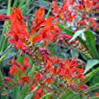 Crocosmia Lucifer (MIX Bulb),bright red color,drought-tolerant,zones 6 through 10.