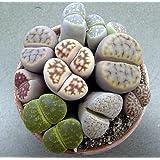 "(CS)~""LIVING STONES"" SUCCULENT~Seeds!!!~~~~~~~~~~Lots of Lithops Varieties!"