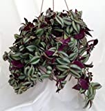 Purple Wandering Jew - 6