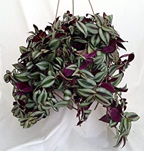 "Amazon.com : Purple Wandering Jew - 6"" Hanging Pot - Easy to Grow"