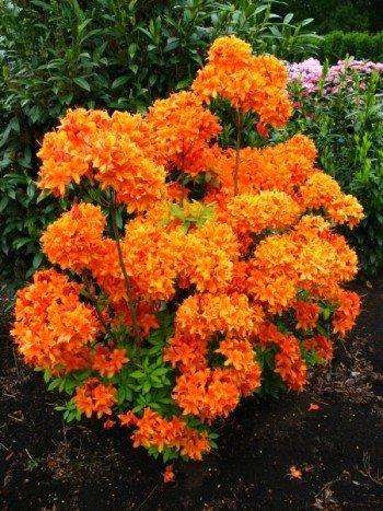 bronzegelb-bluhende-garten-azalee-rhododendron-luteum-golden-eagle-30-40-cm-hoch-im-5-liter-pflanzco