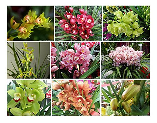Potted Flowers Orchid Seeds, Cymbidium Seeds, Cicada Orchid, Cymbidium When Flowering 100pcs/bag cherry seeds 454g