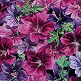 Mystic Merlin Hollyhock - 8 Plants - Malva