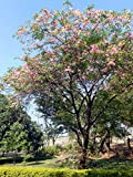 SEED Seller: Rare Cassia javanica Seeds for growing, known as Java Cassia, Pink Shower, Apple Blossom Tree, Rainbow Shower Tree, Java rani. Flowering Tree with beautiful crimson and pink flower bunches (20 seeds)