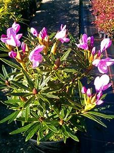 alpenrose rhododendron ponticum graziella 50 cm hoch im 5. Black Bedroom Furniture Sets. Home Design Ideas