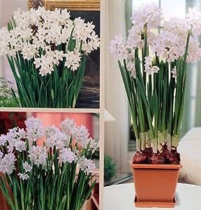 Paperwhite Flowers Growing Kit - Blooms in 30 days!