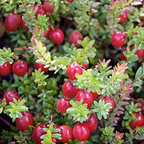 Image of Cranberry (Moosbeere), 3 Pflanzen