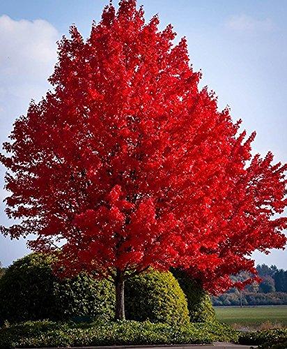red-maple-tree-seeds-40-seeds-upc-643451295795
