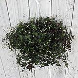 Amazon.co.jpブライダルベール5号鉢植え[白い小花が咲く!]
