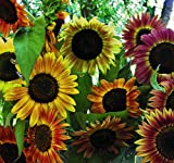 Seed Savers Exchange 476 Organic/Open-Pollinated Sunflower Seed, Evening Sun, 100 Seeds Packet