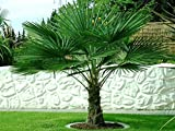 Trachycarpus fortunei ca. 100-110 cm. Frostharte Hanfpalme bis -17 Grad