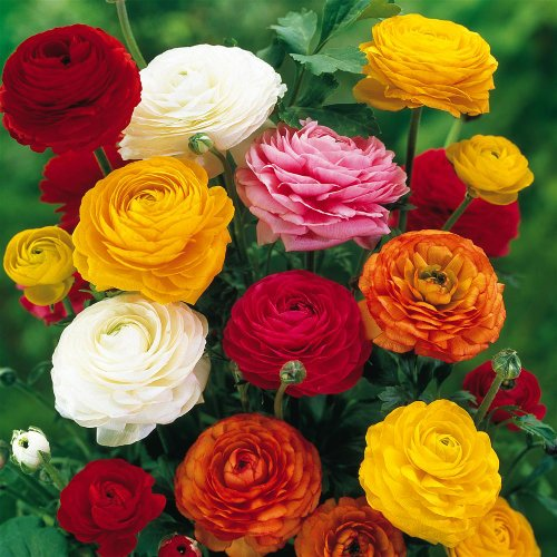 Ranunculus asiaticus Mix - 40 Flower Bulbs