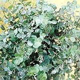 Eucalyptus Gunnii - 1 shrub