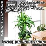 【限定品】幸運の竹・ドラセナ・サンデリアーナ寄植え 7号鉢・鉢カバー・受皿付き【送料無料】