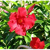 "Red Brazilian Jasmine Plant - Indoors/Out - Mandevilla - 4"" Pot"