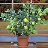"Key Lime Tree - 8"" Pot - Fruiting Size - Make Key Lime Pie - Citrus"