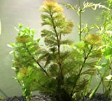 "1 Live Green Cabomba Plant (LARGE - 6+ branches and over 8"" tall!) - Oxygenating, Live Pond Plant (Attractive Alternative to Hornwort!) by Aquatic Arts (formerly InvertObsession)"