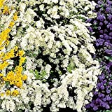 Spirea arguta Bridal Wreath - 2 shrubs