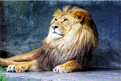 Startonight Canvas Wall Art Lion King, Animals USA Design for Home Decor, Dual View Surprise Artwork Modern Framed Ready to Hang Wall Art 31.5 X 47.2 Inch 100% Original Art Painting! (Lion King Gift Basket compare prices)