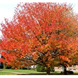 Red Maple Tree - Bare Root - Healthy Plant - 3 Pack