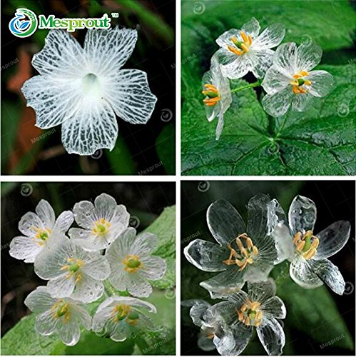 nuovo-arrivo-100-semi-trasparente-fiore-delicate-fai-da-te-giardino-fiorito-i-petali-diventano-trasp