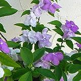 ニオイバンマツリ(ブルンフェルシア)5号鉢植え[香りのよい花を繰り返し咲かせる人気の常緑低木]