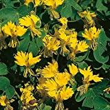 Suttons Seeds 135965 Canary Creeper Seed