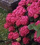 gartenhortensie rosa bl hend 1 strauch. Black Bedroom Furniture Sets. Home Design Ideas