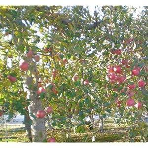 りんご 有機EM農法サンふじ5kgご家庭向き