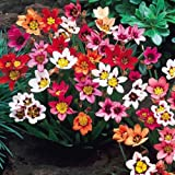 10 Sparaxis Bulbs Mix Color Flower Summer Blooming Perennials