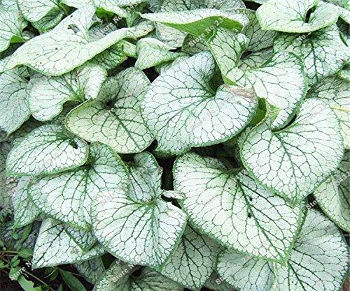 20-pc-sacchetto-rari-vera-thailandia-caladium-piante-dappartamento-semi-giardino-domestico-di-diy-fo