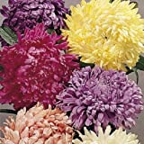 Generic 40+seeds/pack ASTER CHINENSIS CUT FLOWER ASSORTMENT FLOWER SEED MIX / ANNUAL