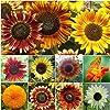 "250 Seeds, Sunflower ""Crazy Mix"" (10+ Varieties) Seeds by Seed Needs"