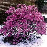Vorfrühlingsalpenrose violett-blau blühend