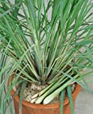 Lemon Grass Seeds - Cymbopogon Flexuosus - .04 Grams - Approx 100 Gardening Seeds - Herb Garden Seed