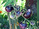 OSU Blue Tomato- 5 Seeds - The Worlds 1st Blue Tomato,Rare