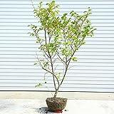 庭木:梅もどき(うめもどき) ウメモドキ 自然樹形!