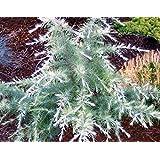 SILVER MIST DEODAR CEDAR - Cedrus deodora 'Silver Mist' - DWARF SHRUB WITH WHITE-TIPPED LEAVES - 1 - YEAR TREE