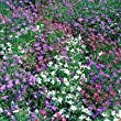 "Perfect Plants ""Multi-Colour Bush Lobelia"" Bedding Plants (Pack of 24)"
