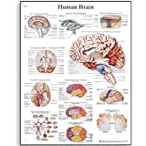 "3B Scientific Glossy Paper Human Brain Anatomical Chart, 20"" Width x 26"" Height (Multiple Language Options)"