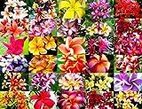 150.色とりどりの美しい花が咲き、ハワイなどでレイに使われるプルメリアの花。 (Plumeria mix 10粒) [並行輸入品]