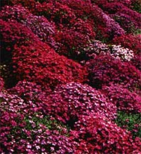 50 aubrieta rock cress bright red perennial flower seeds ground 50 aubrieta rock cress bright red perennial flower seeds ground cover mightylinksfo