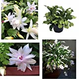 SS0144 Christmas Cactus Plant White Flowers Zygocactus 6